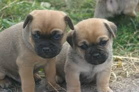 Pug PuppiesFor SAle